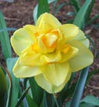 yellow and orange daffodil.jpg